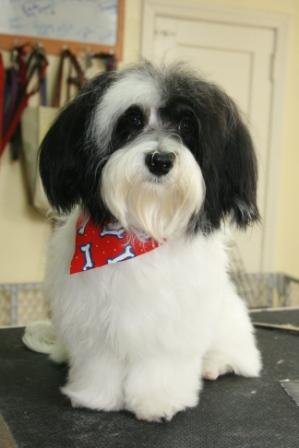 Buffy the Havanese