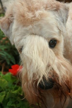 Read more: Boomer the Wheaten Terrier