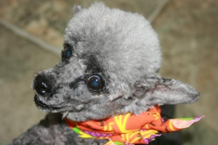 Read more: Poco the Tiny Poodle