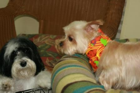 Read more: Koko the Yorkie Poo and Buffy the Havanese