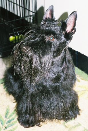 Read more: Ellie the Scottie