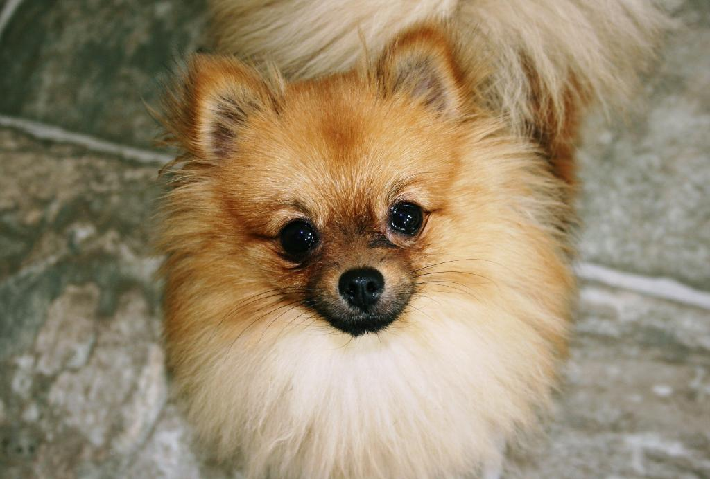 Read more: Millie the Pomeranian