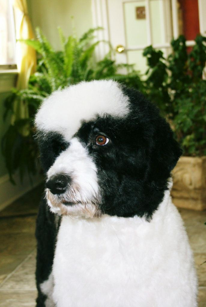 Read more: Bodhi the Portugese Water Dog