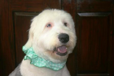 Moxie the Old English Sheepdog