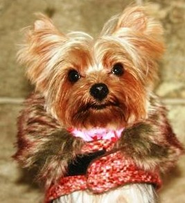 View more about Adorable ZsaZsa the Yorkie