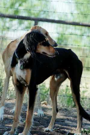 Saluki history and information
