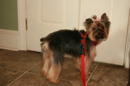 Read more: Spicey the Yorkie 2